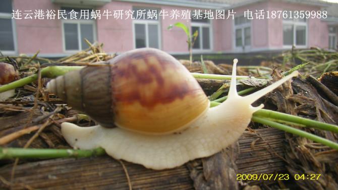 产于广东,广西,海南,福建亚热带 的野生蜗牛—褐云玛瑙蜗牛(现在野生